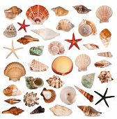 stock photo of scallop shell  - Shells collection - JPG