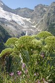 Hogweed In Caucasus