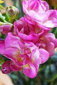 Flower  Freesia