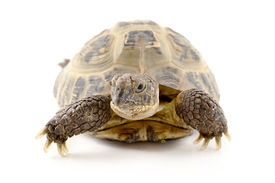 pic of russian tortoise  - Russian tortoise on a shite background Focus is shallow - JPG