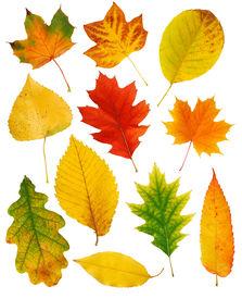 stock photo of fall leaves  - Fall leaves - JPG