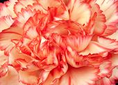 Beautiful Carnation Petals