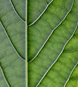 Green Leaf With Veins Visibly In Focus, Natural Leaf Veins, Leaf Veins, Close Up Of Leaf, Macro Shot poster