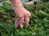 Arthritic hand weeding the garden