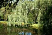 stock photo of weeping willow tree  - The Weeping Willow Tree in Early Autumn - JPG