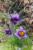 Flowering Pasque Flower Plant