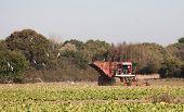 Sugar Beet Harvesting