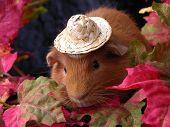Autumn Guinea Pig
