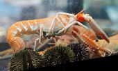 Langoustine In Aquarium