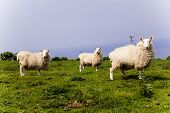 Three White Sheeps Standing In A Meadow Mountain Hill. View Of Sheeps In The Countryside. Green Fiel poster