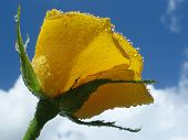 Yellow Rose Against Blue Sky With Clouds