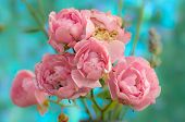 Polyantha Rose Pink Flowers the Fairy Blue Background. poster