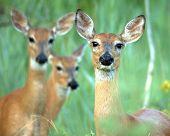 Whitetail Deer  Doe(Odocoileus Virginianus)