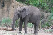 Gorgeous Baby Elephant Roaming In The Wilds. poster