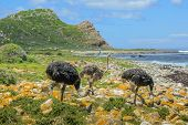 Three Wild Ostriches In Cape Of Good Hope Nature Reserve, Cape Peninsula National Park, South Africa poster