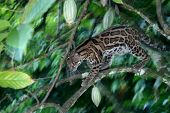 stock photo of ocelot  - A Margay in a Cacao Tree Panama