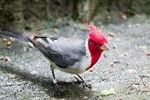 A Hawaiian Red-crested Cardinal Paroaria Coronata Bird poster