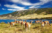 Guanaco in Torres del Paine National Park, Laguna Azul, Patagonia, Chile
