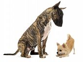 Bull Terrier And Puppy Chihuahua