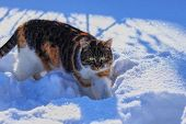 Domestic Colored Cat Walks In Snow And Watch Every Single Move Of Me. Beast Coming Up. Cute Predator poster