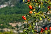 Dog Rose In Verdon Gorge, Gorges Du Verdon, Amazing Landscape Of The Famous Canyon With Winding Turq poster