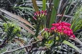 Pink Flowers At Table Mountain National Park In Cape Town, South Africa. Beautiful Plants From Afric poster