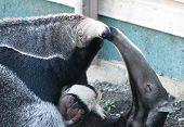 Anteater Kisses