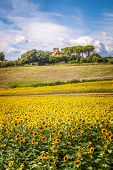 Tuscan Hill With Sunflowers In Blossom And Typical Farmhouse On The Background, Authentic Shot poster