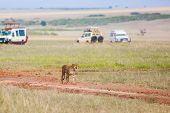 Gorgeous cheetah family. Predators walk freely on the car tracks  of the savannah. Kenya, Masai Mara poster