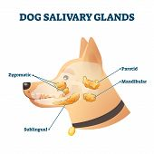 Dog Salivary Glands Vector Illustration. Animal Anatomy Educational Scheme. Zoological Diagram With  poster