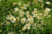 Meadow plants, wildflowers. ?amomile, Daisy (lat.Leucanthemum).