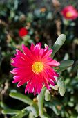 Close Up Of Magenta Ice Plant - Lampranthus Spectabilis On The Canary Islands poster