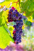 Grape Plant On Vineyard, Growing Red Wine Grapes In Italy poster
