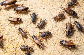 Farm Crickets ,close Up Of Crickets (gryllidae) In Farm,many Crickets Eating Feed. poster
