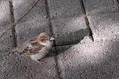 Little Sparrow With Shadow