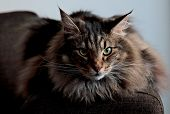 An Angry Looking Norwegian Forest Cat Male Staring At The Camera poster