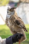 Nocturnal Predator. Bird Of Prey. A Big Royal Owl With Grey And Brown Feathers Sitting On Hand With  poster
