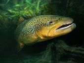 Underwater photo of The Brown Trout (Salmo Trutta) in a alpine lake. Close up with shallow DOF.