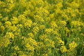 field of oilseed