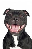 stock photo of bull  - black staffordshire bull terrier dog isolated on white