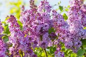 image of lilac bush  - Scenic macro view of fresh lilac flowers - JPG