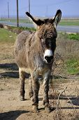pic of jack-ass  - Donkeys are part of the animal population on this California farm - JPG