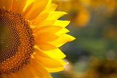 Macro SunFlower Background with real beautiful bokeh of field