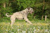 Irish Wolfhound Running In Flowers