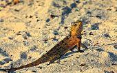 Peery Looking Lizard