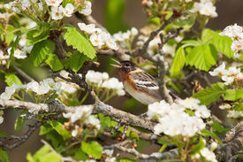 image of safe haven  - Snuggly perched in an apple tree with its beak wide open - JPG