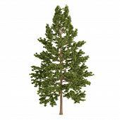 image of pinus  - Tree pine isolated - JPG