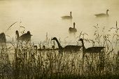 Canadian Geese Dawn Silhouette