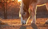 Belgian draft horse nibbling on hay, against setting sun, outlined by it