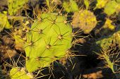 stock photo of nopal  - Green Prickly Pear Cactus Leaf in the Desert - JPG